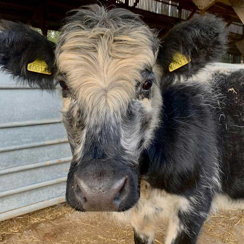 Furry cow at Marsh Farm